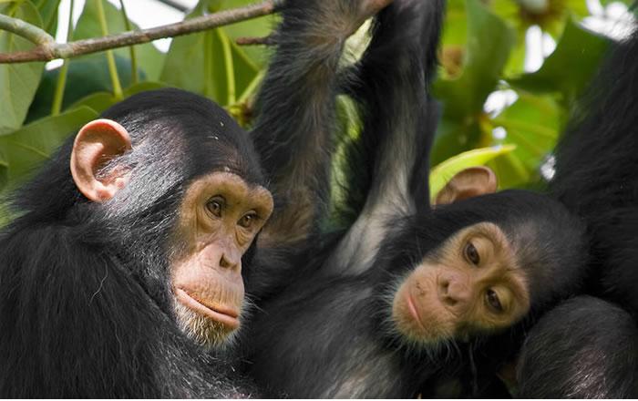 Chimpanzee tracking in Nyungwe