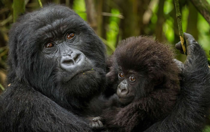 How To Book A Congo Gorilla Permit