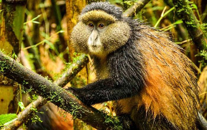 Golden-Monkey-Trekking in Rwanda