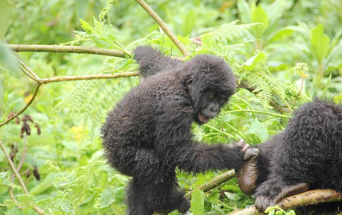 Gorillas in DR Congo